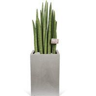 공기정화식물 스투키(중)