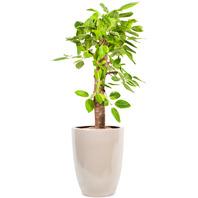뱅갈고무나무(고급도자기분)