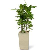 공기정화식물 뱅갈고무나무
