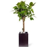 공기정화뱅갈고무나무